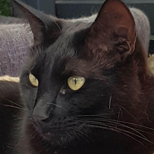 Stormy - Domestic Short Hair Cat