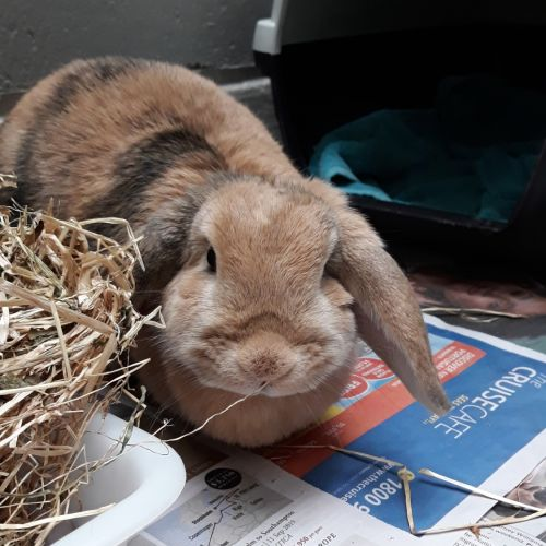 Bon Bon - Lop Eared Rabbit