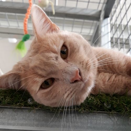 Clyde - Domestic Short Hair Cat