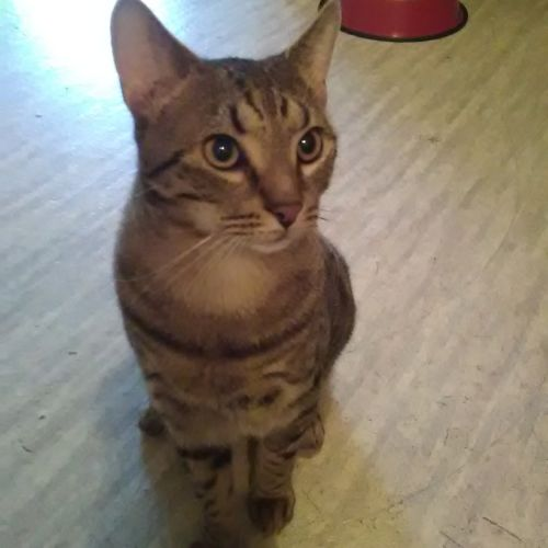 Pav - Domestic Short Hair Cat