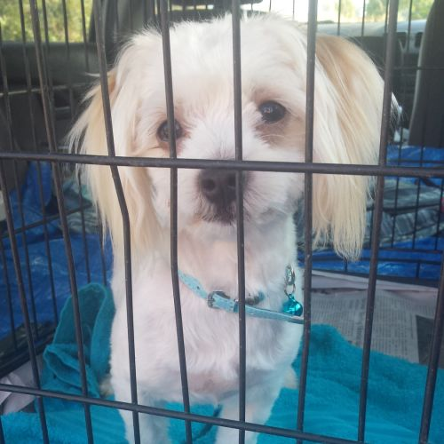 Maxi - Maltese Dog