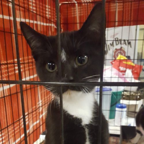 Paintpot - Domestic Short Hair Cat