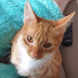 Gingie **2nd Chance Cat Rescue**