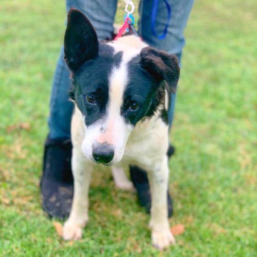 Queenie - Border Collie Dog