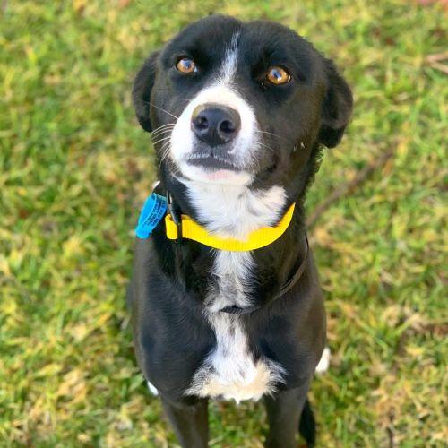 Scarlet - Border Collie Dog