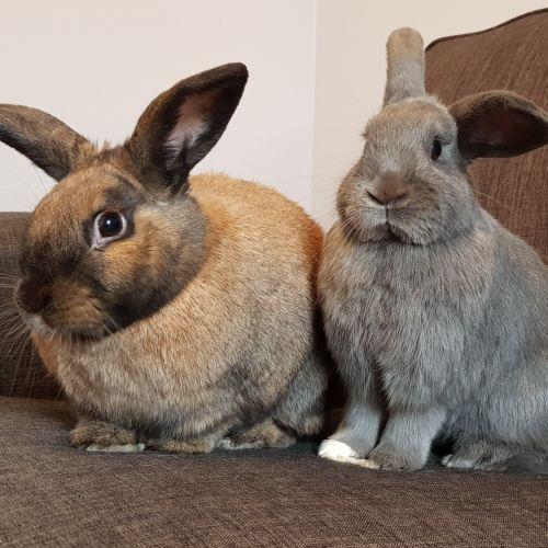 Bubbles and Nugget - Domestic Rabbit