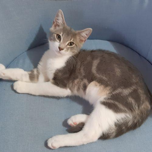 Houdini - Domestic Short Hair Cat