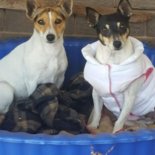 Dotti and Betty - Tenterfield Terrier Dog