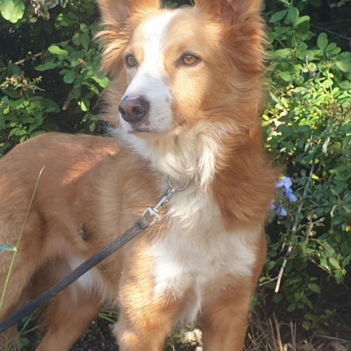 Yella - Border Collie Dog