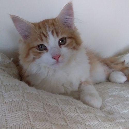 Hiccup - Domestic Medium Hair Cat