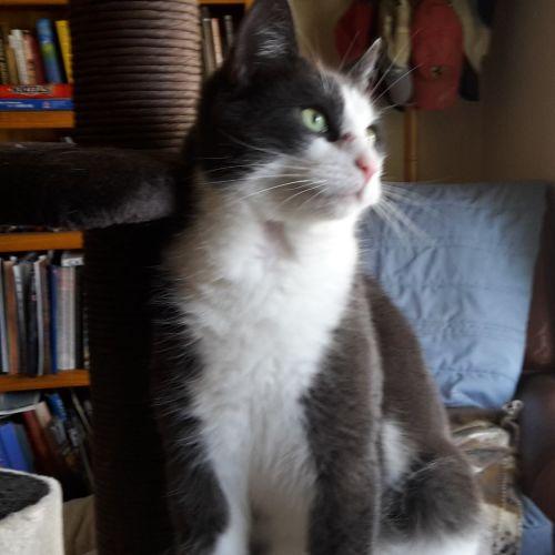 Bilbo - Located in Lower Templestowe - Domestic Short Hair Cat