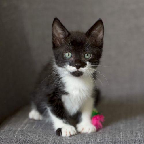 Mustachio  - Domestic Short Hair Cat