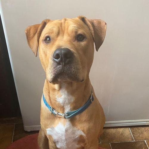 Yogi - American Staffordshire Terrier x Mastiff Dog