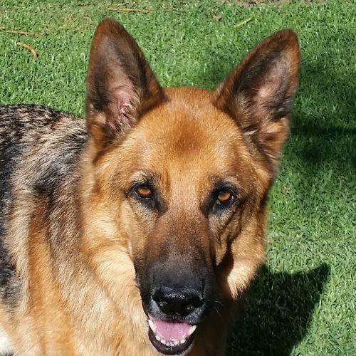 Rex Snr - German Shepherd Dog