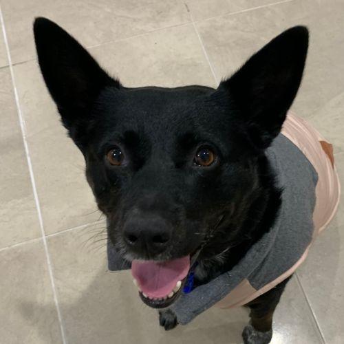 Sally ~ 5yr Old Kelpie X - Kelpie Dog