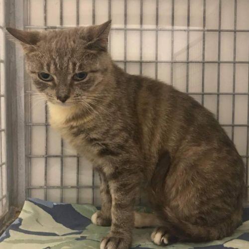Willow  - Burmese Cat