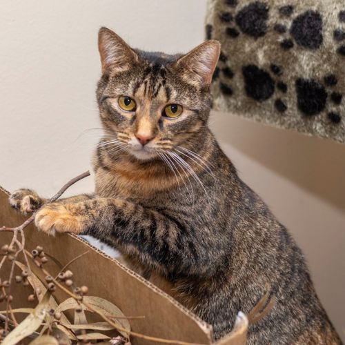 Melba **2nd Chance Cat Rescue** - Domestic Short Hair Cat