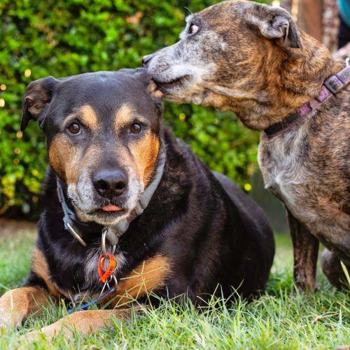 Benjamin & Chloe - Rottweiler Dog
