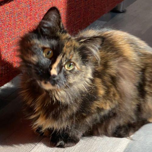 Lady - Meet me at Neko HQ in Preston - Domestic Short Hair Cat