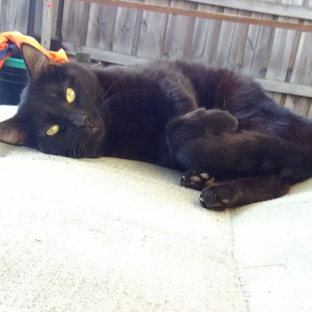Photo of Blackie **2nd Chance Cat Rescue**