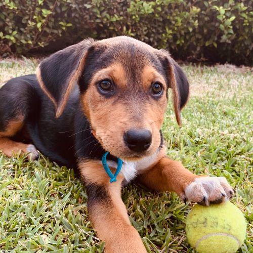 Rosella - Kelpie Dog
