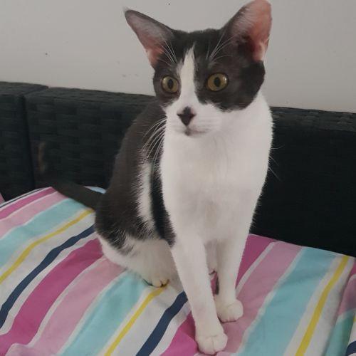 Spooky - Domestic Short Hair Cat