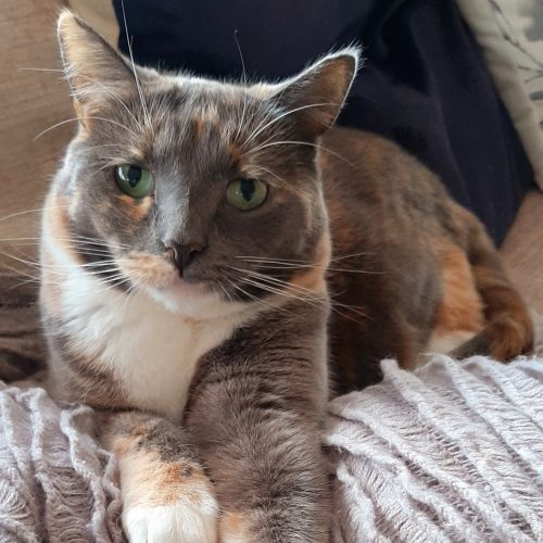 Annie - Meet me Sunday @Neko HQ, Preston - Domestic Short Hair Cat
