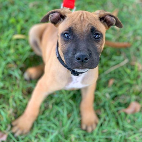 Shakespeare - Staffordshire Bull Terrier x American Staffordshire Bull Terrier Dog
