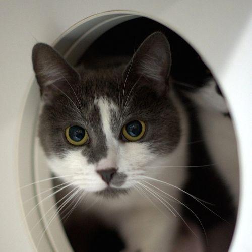 Armand - Domestic Short Hair Cat
