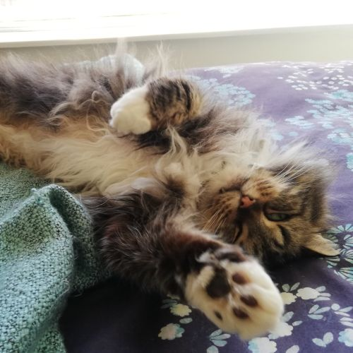 Winsome Waggletoof - Domestic Long Hair Cat