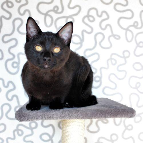 Carlos ^^Dandy Cat Rescue^^ - Domestic Short Hair Cat