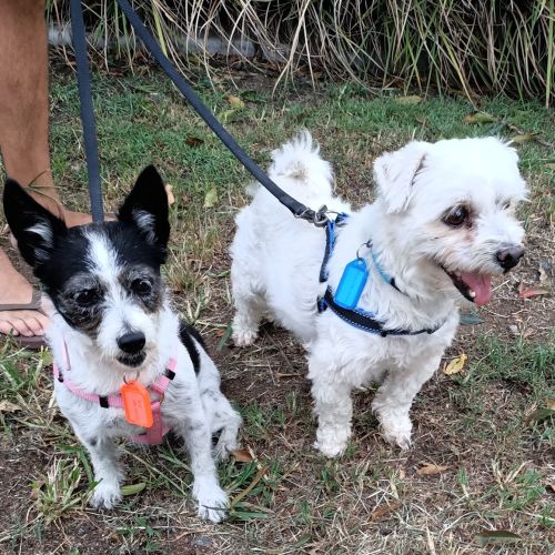 Cindy & Eddie - Miniature Fox Terrier x Maltese Dog