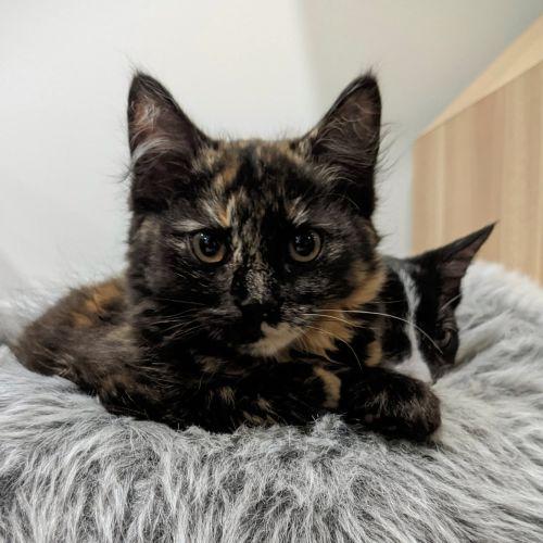 Cordelia ^^Dandy Cat Rescue^^