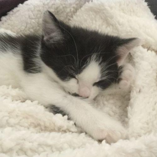 MJ - Domestic Medium Hair Cat