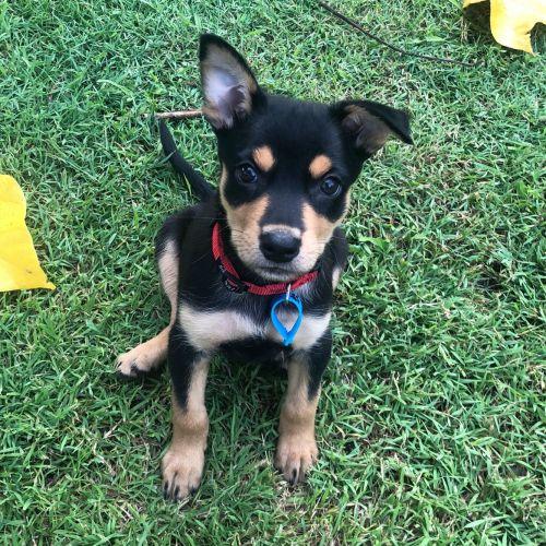 Vindaloo - Kelpie Dog