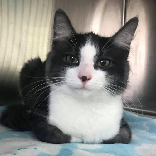 Mickey and George  - Domestic Medium Hair Cat