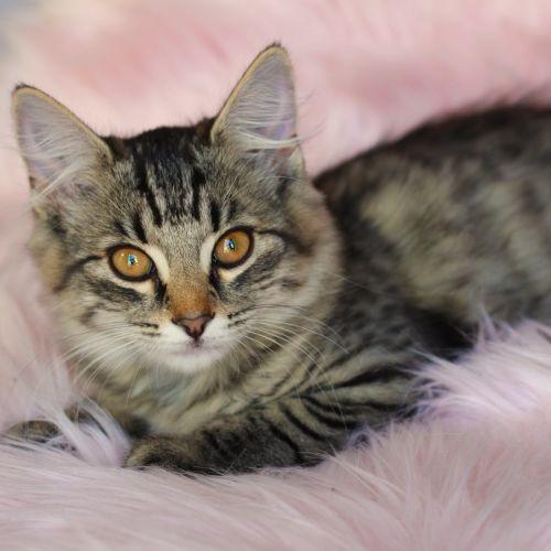 Atarah - Domestic Short Hair Cat