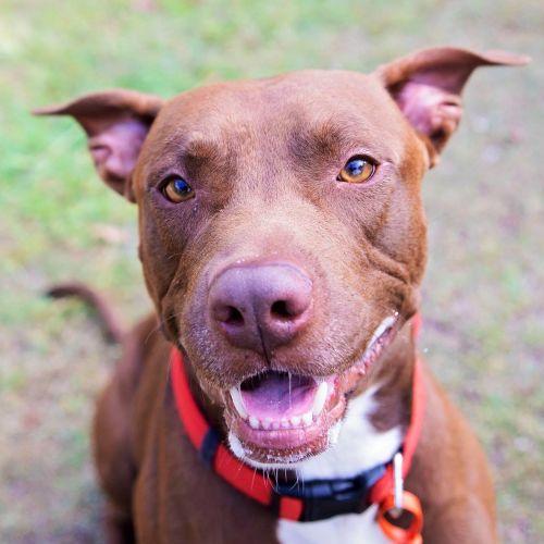 Choco - American Staffordshire Terrier Dog