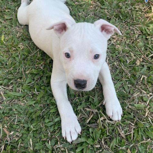 Marilyn - Staffordshire Bull Terrier x Bull Terrier Dog