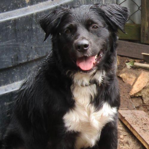 Millie - Border Collie Dog