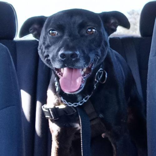 Layne - Staffy Dog