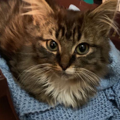 Aslan - Located in Eltham - Domestic Medium Hair Cat