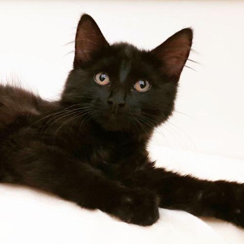 Poppy - Domestic Medium Hair Cat