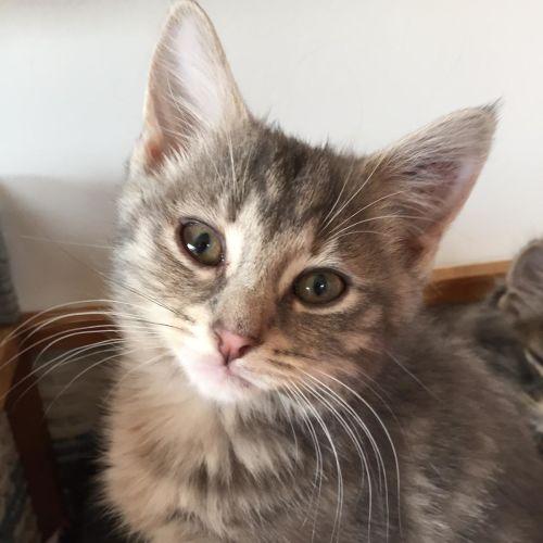 Theodora ^Dandy Cat Rescue^ - Domestic Medium Hair Cat