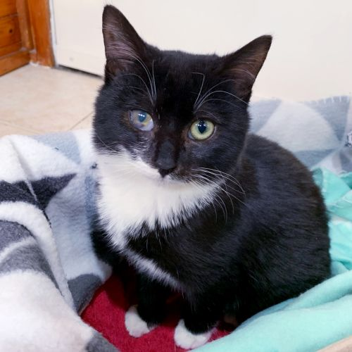 Cheeky aka Willy Wonka - Domestic Short Hair Cat