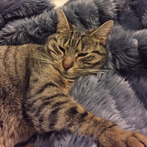Charity ^^Dandy Cat Rescue^^ - Domestic Short Hair Cat