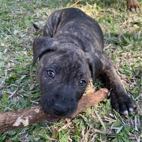 Alf - Staffordshire Bull Terrier x Bull Terrier Dog