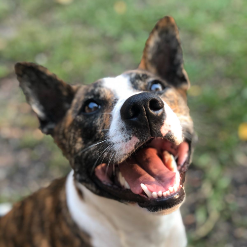 Bindi - Kelpie x Staffordshire Bull Terrier Dog