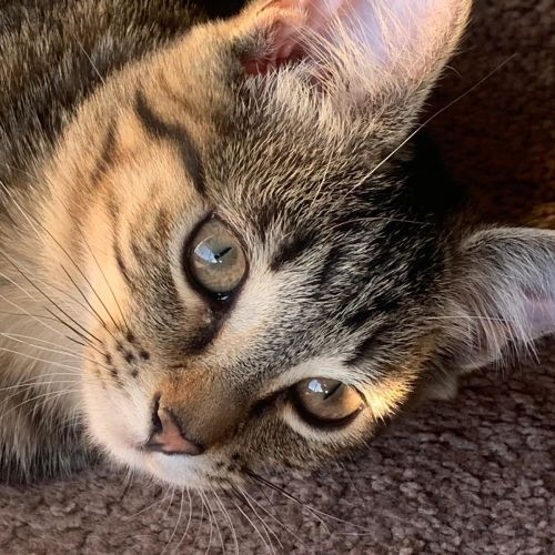 Benny ^^Dandy Cat Rescue^^ - Domestic Short Hair Cat