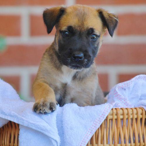 Moonie - Irish Wolfhound x Border Collie Dog